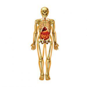 体,骨格,呼吸,内臓